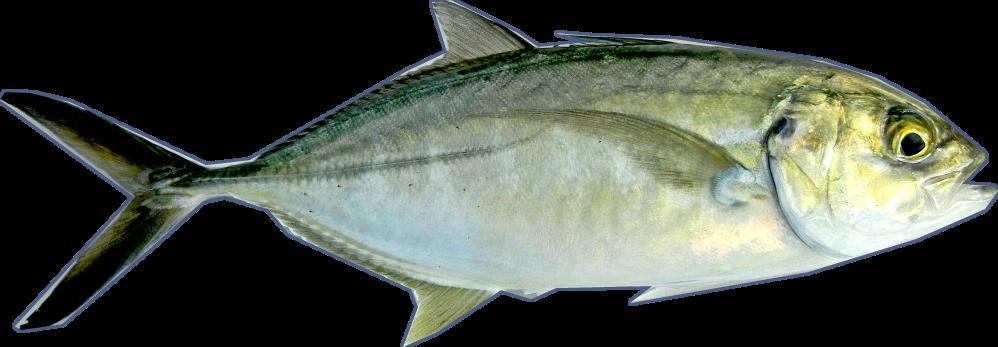 Blue runner sushi sushi everyday for Blue runner fish